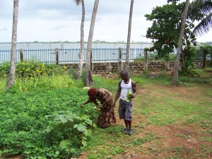 Corn, groundnuts and maize growing in the shade of the coconut trees (July).