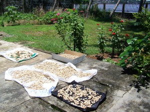 We are taking advantage of the sun to dry the groundnuts and also some ears of seed corn.  In the meantime,  I boiled some of the groundnuts for eating. All of this is new to me but good learning.